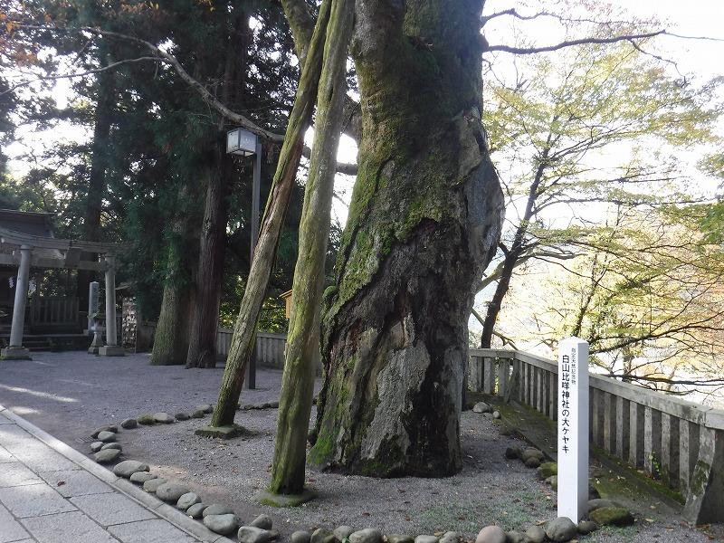 白山比咩神社の大ケヤキ