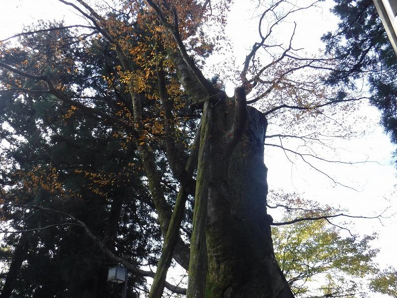 白山比咩神社の大ケヤキ上部