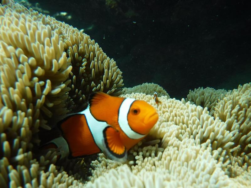 石垣島マンタシュノーケルおすすめショップ|ソライロ・マリンでサンゴ礁シュノーケリングツアー6