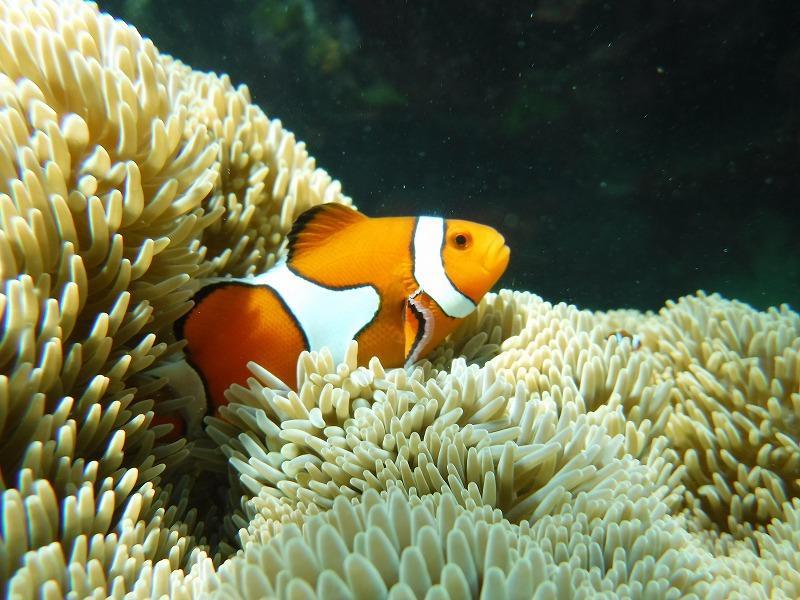 石垣島マンタシュノーケルおすすめショップ|ソライロ・マリンでサンゴ礁シュノーケリングツアー7