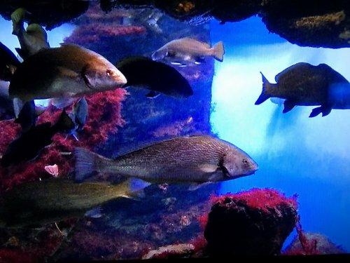 バルセロナ港近くの水族館_泳ぐ魚