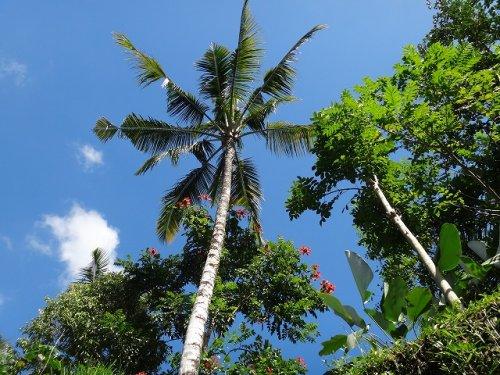 コマネカタンガユダ旅行記|ホテル敷地内の通路にあった木