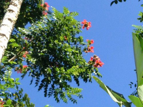 コマネカタンガユダ旅行記|ホテル敷地内の通路にあった木の赤い花