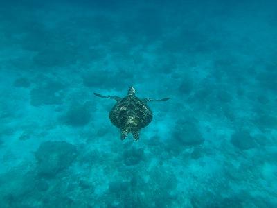 シミラン諸島ツアーアンダマン海シュノーケル_優雅に泳ぐウミガメ