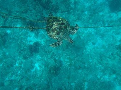 シミラン諸島ツアーアンダマン海シュノーケル_野生のウミガメ発見